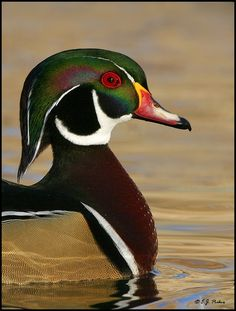 Wood Duck - I saw a lot of these in North Dakota