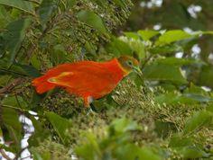 Oranje vruchtenduif. Ptilinopus Victor.