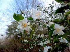 Camellia fraterna Hance 1862 (THEACEAE)   Arbustos perennifo…   Flickr - Photo Sharing!