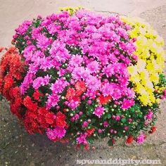 how to care for fall mums, flowers, gardening, Fall mums are best planted in the spring but they are usually bought in the fall when they are full of color The key to success is good drainage and winter protection