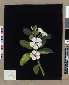 Mary Delany botanical collage: Vinca Rosea, 1781