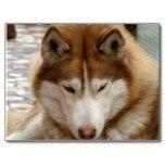 Beautiful husky dog postcards