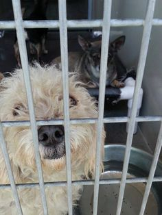 Lois Chisholm with Lisa Michelle Corona and 6 others at City of San Bernardino Animal Control-Shelter #A471872 Release date: 9/9 I am a female, white Poodle - Miniature mix. Shelter staff think I am about 4 years old. I have been at the shelter since Aug 27, 2014.  http://www.petharbor.com/pet.asp?uaid=SBCT.A471872 For more information about this animal, call: San Bernardino City Animal Control at (909) 384-1304