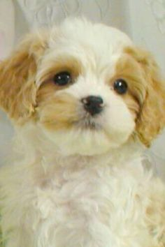 Cavachon puppy... So adorable!