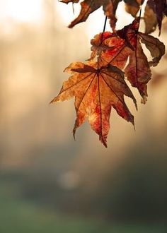 Photography Guide, Autumn Photography, Light Photography, Japanese Maple, Fall Pictures, Fall Pics, Fall Plants, Fall Jewelry, Print Artist