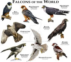 Falcons of the World by rogerdhall.deviantart.com on @DeviantArt