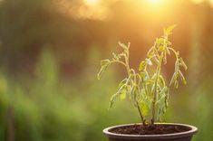 Comment ressusciter une plante presque morte - Guide Astuces House Plants, Voici, Bons Plans, Gardens, Wood Tables, Leaves, Green, Plants, Water