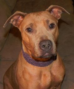 Meet Rayna, a Petfinder adoptable Pit Bull Terrier Dog | Bradford, VT | Beautiful Rayna was rescued from a kill shelter in SC along with her 9 little puppies. They are all...