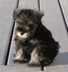 Mini Schnauzer puppy. Too cute. Maybe someday. . .far far away.