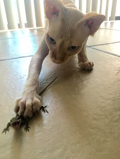 Our sphynx cat, Finn, caught his very on first lizard today! Adorable naked cat.