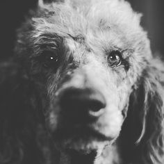 """Sherlock my standard poodle is a ballin dog who, most days, it's just down to cuddle and listen to @chancetherapper He loves hanging and wresting with his bud Oliver, our Shih Tzu."" writes @adognamedsherlock #dogsofinstagram #dog #dogs #cute"