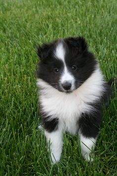 itty bitty sheltie