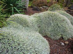 Deuterocohnia brevifolia Pinned to Garden Design - Plants to Use by Darin Bradbury.