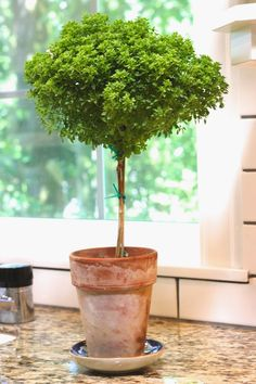Greek Basil Topiary Basil a green herb used in cooking and food preparation come from the Greek word basilikos.Meaning royal because its the royal herb. Topiary Plants, Topiary Garden, Topiary Trees, Indoor Garden, Garden Pots, Indoor Plants, Outdoor Gardens, Cone Trees, Boxwood Topiary