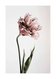 Pink Tulipe Plakat i gruppen Plakater / Botanik hos Desenio AB Gold Poster, Buy Posters Online, Prints Online, Groups Poster, Pink Tulips, Modern Art Prints, Poster Making, Buy Prints, Botanical Prints