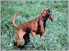 Redbone Coonhound...everytime I  see this kind of dog I think of Where the Red Fern Grows:,( such a great movie