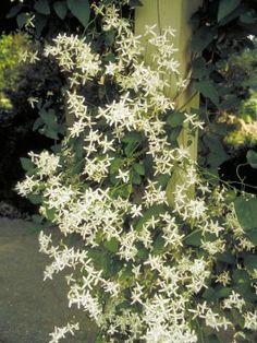 Sweet Autumn Clematis (Clematis terniflora)                                                                                                                                                      More