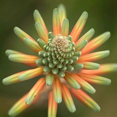(Fibonacci) -this  colorful succulent plant is a good example of Fibonacci (sequence of numbers in a series, also applied to flowers, ie: On many plants, the number of petals is a Fibonacci number: buttercups have 5 petals; lilies and iris have 3 petals; some delphiniums have 8, etc. ....