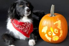 Border Collie Halloween Pumpkins