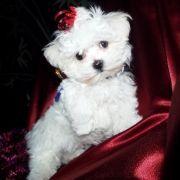 Sydney Maltese Puppy 577092 Puppyspot Maltese Dogs Maltese