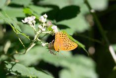 Unterwegs auf dem Rundweg Darßer Ort im Nationalpark Vorpommersche Boddenlandschaft | Schmetterling Kaisermantel auf Brombeerblüten (c) FRank Koebsch (5)