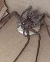 Giant PREGNANT huntsman spider leaps out of backpacker's bag when she returns to Britain AM NOT GOING TO AFRICA. NOPE!