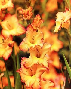 Gladiolus PRISCILLA  5 bulbs by OurGrandmothersAttic on Etsy, $2.99