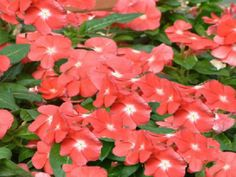200 Seeds Vinca Sunsplash Peach Seeds BULK SEEDS #Vincaseeds