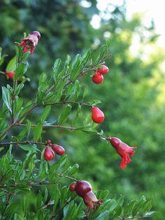 Ancona, Marche, Italy - Pomegranate | Melograno - Punica granatum by Gianni Del Bufalo (CC BY-NC-SA 2.0) इटली  意大利 Italujo イタリア Италия איטאליע إيطاليا