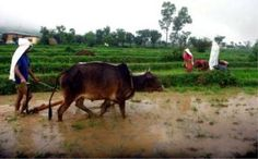 Farmers seen cultivating their agricultural fields for sowing paddy as the rainy season approaching in Himachal Pradesh. The rainy season is stated to boon for the paddy crop. The photograph was taken near Dharamshala on Thursday. Rice Crop, Photo Caption, Rainy Season, Farmers, Captions, Fields, Content, Seasons, Business