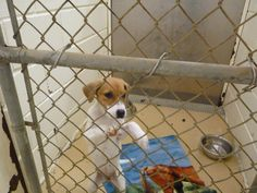 """NO SHARES FOR THIS 3 MONTH OLD BABY**BAY CITY, TEXAS**...PLEASE SOMEONE SAVE THIS LITTLE GIRL """"DOLLY""""    BAY CITY, TEXAS~  PLEASE TEXANS SAVE THIS PUPPY FROM DEATH TODAY!!!!!!  MY NECK OF THE WOODS...DON'T LET THIS LITTLE FELLOW DIE!  ...See More BAY CITY, TX  DOLLY  BEAGLE, BEAGLE-X....FEMALE, ABOUT 3 MOS OLD  If you can tag for Rescue/Adoption, contact ACO Mick White, 979-323-1706, mwhite@cityofbaycity.org; or Gayle St John, 281-352-1004, gayleformail@aol.com. Has transportation options."""