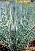 Prairie Blues Grass (Andropogon scoparius 'Prairie Blues') Arching blue-gray foliage turns a vibrant gold to red in fall. Exquisite in floral arrangements. Height & Width: 91cm T x 46cm W Light Requirements: Full Sun Zone: Zone 3