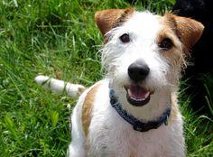 Jack Russell Terrier rough coat