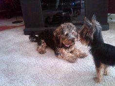 My puppy-- yorkie poo  *Miley