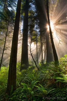 by Floris van Breugel ~ Sun Rays and Fog, Redwood National Park, California, jurassic light, photo