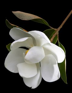 Magnolia--the quintessential flower of the South--magnificent trees and heady aroma