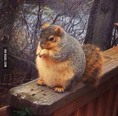 This squirrel is getting ready for winter by eating all the other squirrels