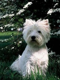 My favourite animals, I love Westies, they are beautiful and have the personalities to match
