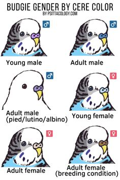 Wondering how to tell if a parakeet is male or female? With the right knowledge, it's usually easy to figure out. Parakeet Care, Budgie Parakeet, Budgies Care, Fancy Parakeet, Parakeet Food, Parakeets, Cute Birds, Funny Birds, Diy Bird Toys