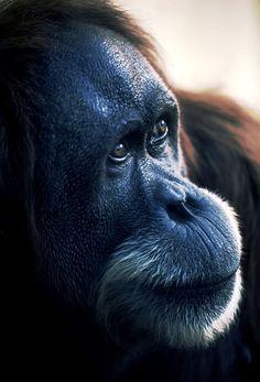 Orangutan, the gentle Indonesian ape