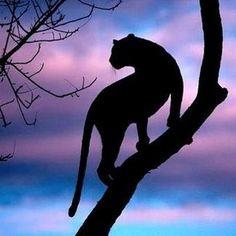 Silouette wild cat