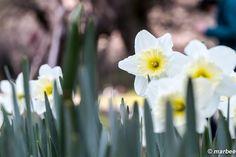 春に咲く水仙は大きい