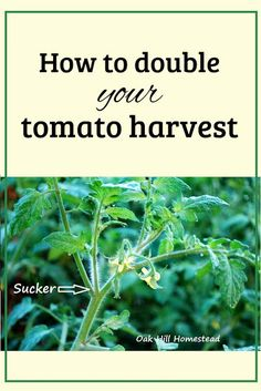 Big Garden You can double your tomato harvest by growing more plants and here's how to do it for FREE! Garden You can double your tomato harvest by growing more plants and here's how to do it for FREE! Home Vegetable Garden, Tomato Garden, Veggie Gardens, Bell Gardens, Garden Tomatoes, Planting Vegetables, Growing Vegetables, Perennial Vegetables, Veggies