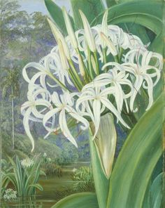 """""""A Bornean Crinum"""" by Marianne North *was a well-known botanical painter who traveled around the world twice in search of rare flowers and plants. Vintage Botanical Prints, Botanical Art, Plant Illustration, Botanical Illustration, Flower Illustrations, Your Paintings, Landscape Paintings, Beautiful Paintings Of Flowers, Marianne North"""