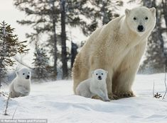 'Put me down mum': Poignant moment polar bear cub is made to catch up as family make trek in snowy sub-zero temperatures Bear Photos, Bear Pictures, Cute Animal Pictures, Family Pictures, We Bear, Bear Cubs, Animals And Pets, Baby Animals, Cute Animals