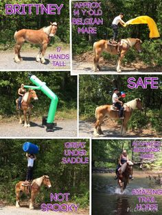FOUND A NEW HOME  Brittney  Approx 14 year old Belgian Mare 17 h tall Advanced beginner safe Amazing trail horse Not spooky No Vices  Not marish Great under saddle Great Whoa Safe and quiet