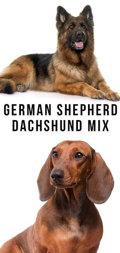 German Shepherd Dachshund Mix - What To Expect From A Curious Cross Dachshund Mix Puppies, Happy Puppy, Mixed Breed, German Shepherd Dogs, Dog Breeds, Articles, Animals, Animaux, Species Of Dogs