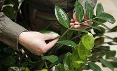 Das beliebte Aronstabgewächs Zamioculcas können Sie durch Blattstecklinge ganz leicht selbst vermehren. Wir zeigen, wie's geht.