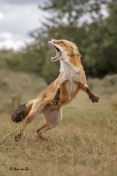 Red fox It takes two to tango. - Foxtrot or tango? You have got to love nature and its creations. Cheers, my friends Animals And Pets, Funny Animals, Cute Animals, Wild Animals, Baby Animals, Beautiful Creatures, Animals Beautiful, Wolf Hybrid, Fox Art