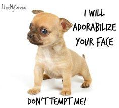 funny chihuahua meme good boy | Funny pups | Pinterest ...
